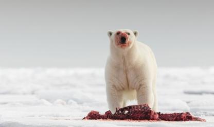 The Atlantic polar bear feast
